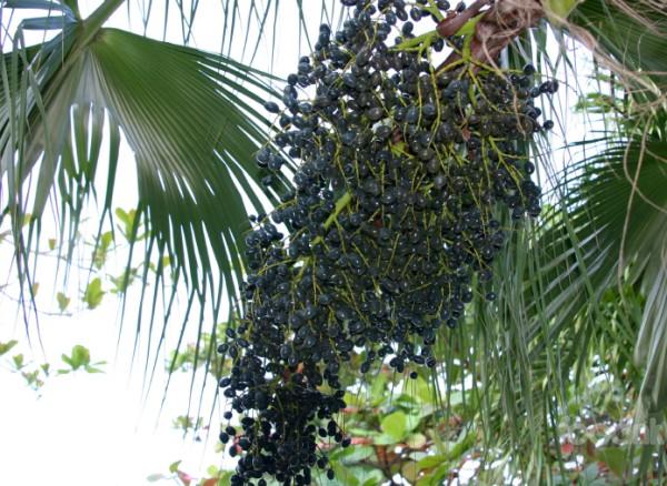 Tìm hiểu về quả acai berry