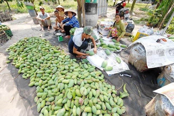 Nông dân trồng xoài Đài Loan ở An Giang. Ảnh: Ngọc Trinh.
