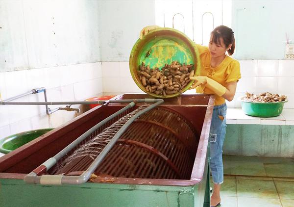 Mô hình làm tinh bột nghệ, tinh bột ngải của THT Nông nghiệp & dịch vụ Tiên Ngọc bước đầu mang lại hiệu quả kinh tế