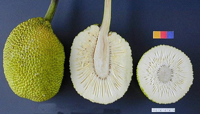 Quả sa kê, có danh pháp khoa học là Artocarpus altilis, còn có tên gọi thông dụng là trái bánh mì - breadfruit. Lý do để nó có cái tên gọi
