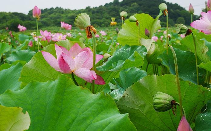 Là một loại hạt quen thuộc trong đời sống của người Việt Nam. Là hạt của loài thực vật thuộc chi sen, phổ biến là loại sen hồng