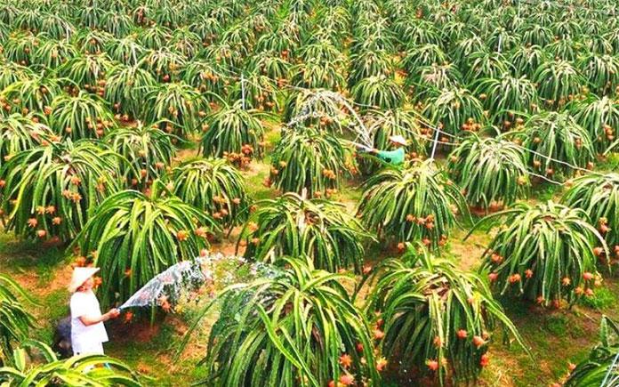 Thanh long là một loại quả nhiệt đới được trồng nhiều ở Việt Nam chúng ta, nhất là các xứ nắng và gió như Bình Thuận, Tiền Giang,...Loại quả