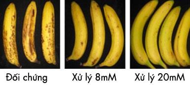 Ngoài kỹ thuật sử dụng 1-MCP kết hợp với ethephon trong bảo quản chuối, chúng ta cùng tìm hiểu về một kỹ thuật khác sử dụng acid Oxalic.