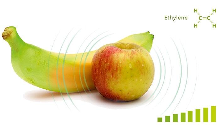 Quá trình hô hấp của quả chuối sau thu hoạch diễn ra khá mạnh mẽ, quá trình này sẽ sản sinh rất nhiều khí ethylene. Ảnh hưởng rõ rệt nhất