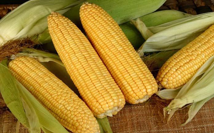 Bắp (ngô) là loại cây nông nghiệp có diện tích thu hoạch lớn thứ hai tại Việt Nam sau lúa gạo. Hầu như là người Việt Nam, chúng ta đều đã...