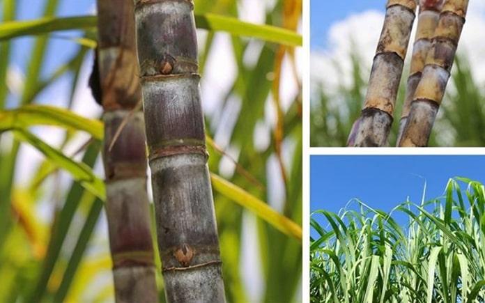 Sản xuất isomaltulose từ mía đường đang ngày càng cải thiện là một trong những sự quan tâm của mọi người. Hãy cũng Foodnk tìm hiểu nhé!