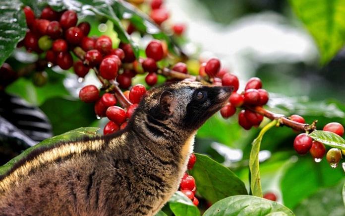 Cà phê chồn là một loại cà phê rất đặc biệt. Là một loại đồ uống hiếm có và đắt đỏ nhất trên thế giới. Hãy cùng Foodnk tìm hiểu về...