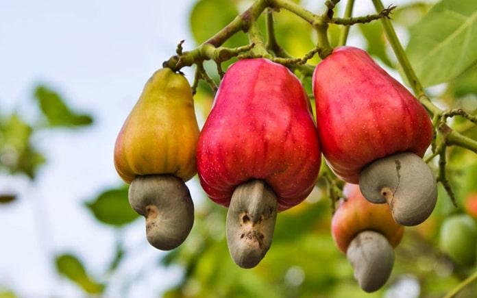 Giá trị dinh dưỡng của hạt điều rất cao, thơm ngon, giòn béo nên được người dân trên toàn thế giới ưa chuộng. Nước ta là 1 trong 3 nước có...