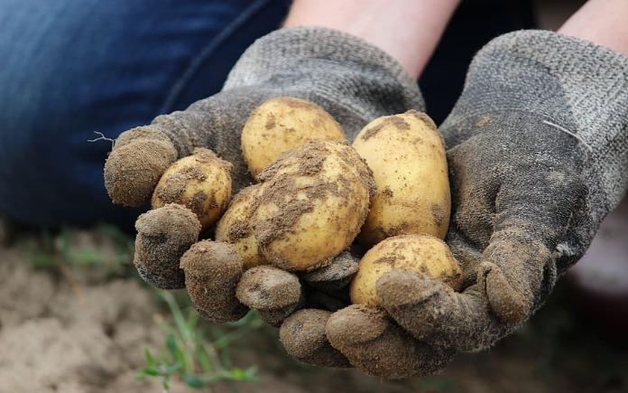 Khoai tây chứa nhiều chất dinh dưỡng, đặc biệt là các vi lượng thiết yếu cho cơ thể. Hãy cùng với Foodnk tìm hiểu về vi lượng trong khoai tây