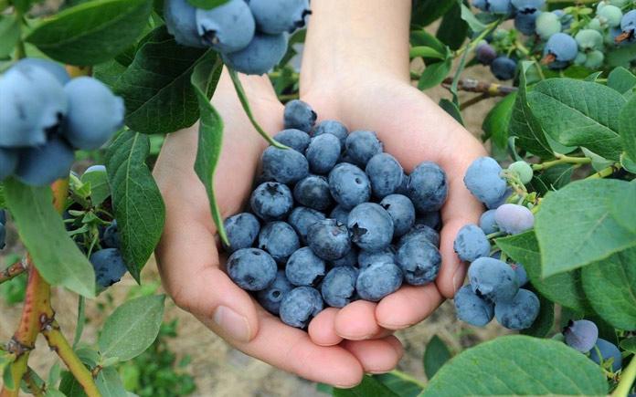 Quả Việt quất là loại trái cây rất được ưa chuộng trong thời gian gần đây. Chúng không chỉ ngon mà còn mang nhiều lợi ích cho sức khỏe